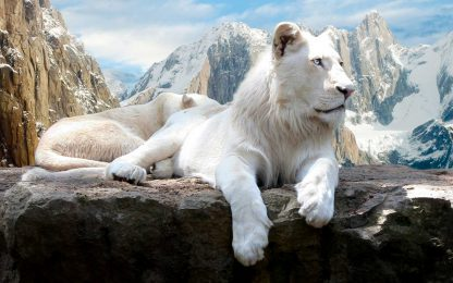 1 Panel Male and female white Lions Multi Canvas Art
