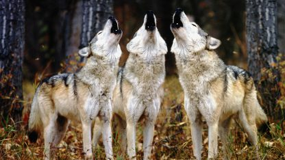 1 Panel Howling Wolves Multi Canvas Art