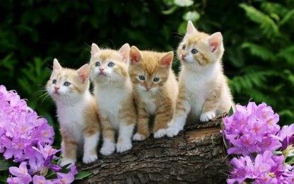 1 Panel Four Ginger and White Kittens on a Log Multi Canvas Art