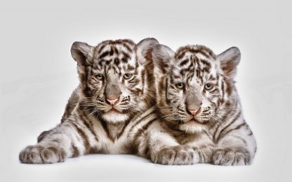1 Panel Tow cute white tiger cubs Multi Canvas Art