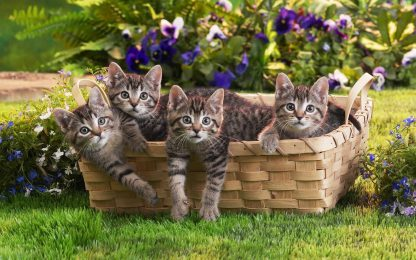 1 Panel Cats In Basket Multi Canvas Art