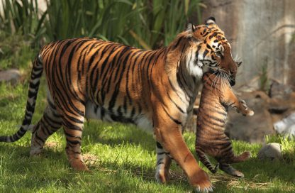 1 Panel Mother tiger carrying her cub Multi Canvas Art