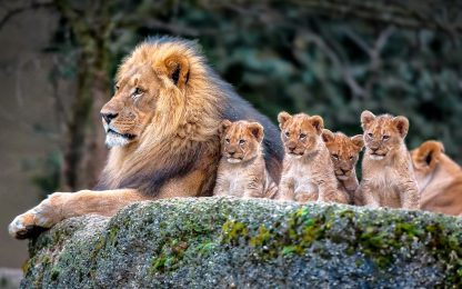 1 Panel King Lion and his Cubs Multi Canvas Art