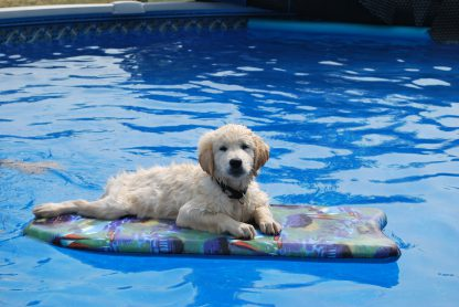 1 Panel Doggy in a Pool Multi Canvas Art