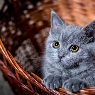 1 Panel Cute Gray Kitten in a Basket Multi Canvas Art